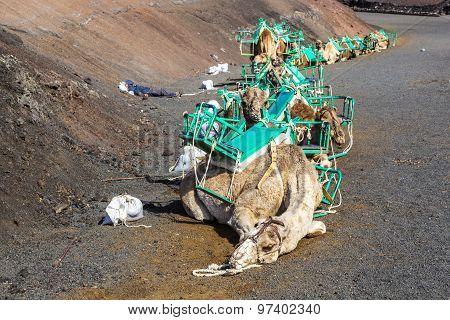 Camels At Timanfaya National Park Wait For Tourists