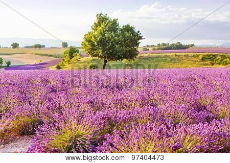 Lavender Fields Near Valensole In Provence, France On Sunset