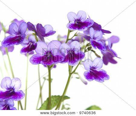 Purple-lilac Streptocarpus