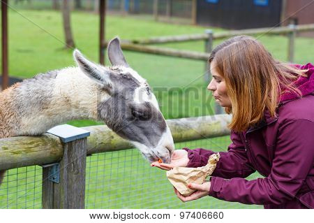 Happy Woman Feeding Big Lama On An Animal Farm