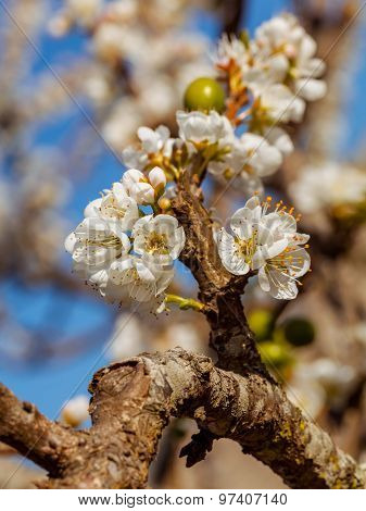The Plum Blossom In Chiengmai - North Of Thailand.
