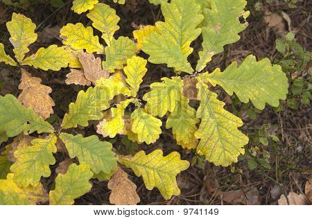 Autumn Colors Young Oaks Eaves - Hdri Image