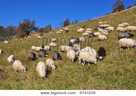 Sheep on a hillside.