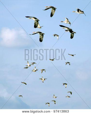 flying mallards in the sky