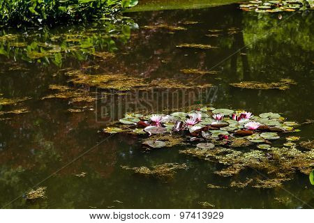 Pink Water Lilies On Green Pond