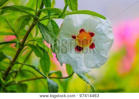 White Poppy Flower.