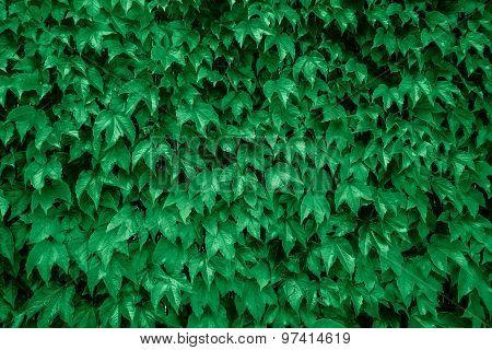 Ivy Vine Green Background Texture.