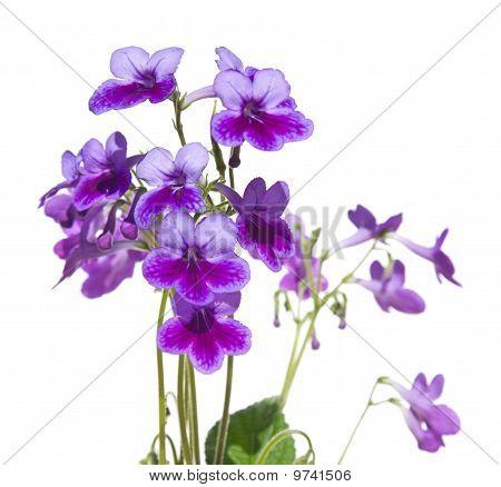 Purple-lilac Streptpcarpus