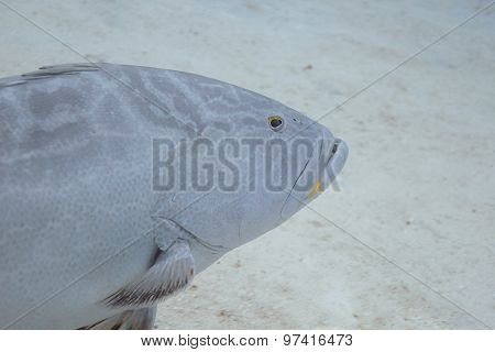 Epihephelus Striatus
