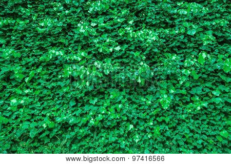 Ivy Leaves Green Background Texture.