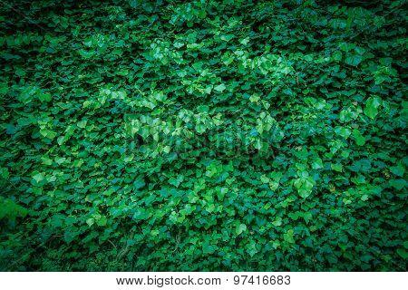 Ivy Vine Leaves Background.