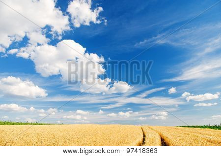 Ripe wheat in a summer landscape