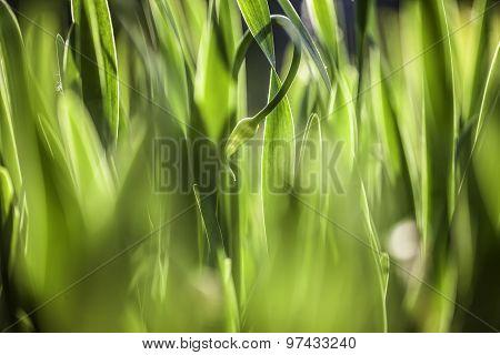 Green grass. Soft focus