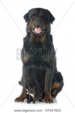 Puppy Chihuahua And Rottweiler