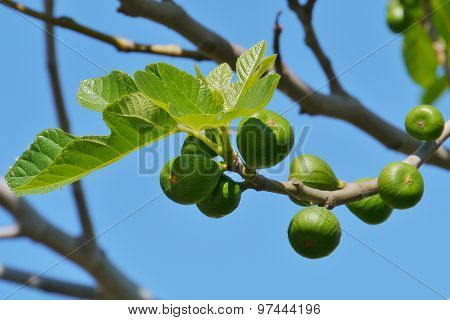 Figs opposite a blue sky