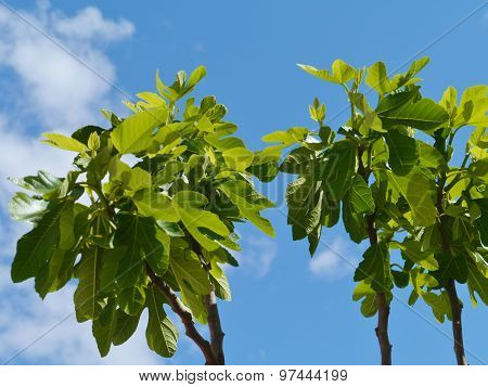 Fig trees during springtime