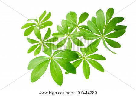 Sweet Woodruff In Front Of White Background