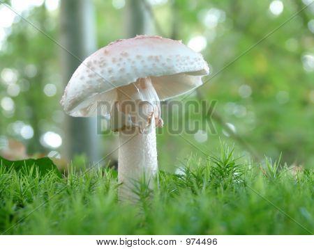 Amanita Verna Mushroom