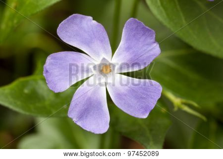Purple Periwinkle