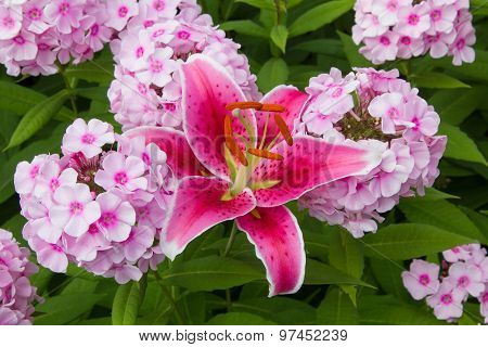 Pink Phlox And Fire Lily Blossoms