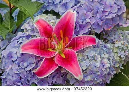 Pink Fire Lily And Blue Hydrangea Blossoms