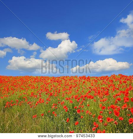 Beautyful Red Poppy Field And Blue Sky With Clouds