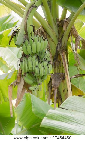 Banana In The Jungle