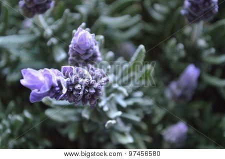 Lavender Bloom Closeup, Faded