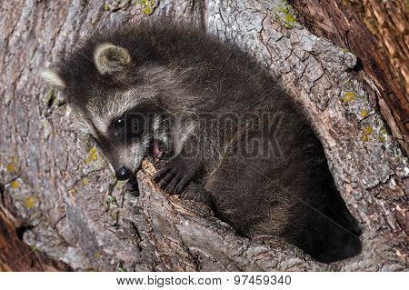 Young Raccoon (procyon Lotor) Bites At Tree