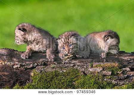 Three Baby Bobcats (lynx Rufus) Lined Up On Log