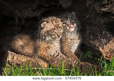 Baby Bobcat Kittens (lynx Rufus) Snuggle In Hollow Log