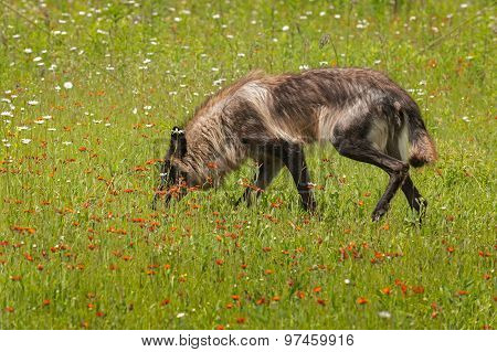 Black Phase Grey Wolf (canis Lupus) Sniffs In Field Of Flowers