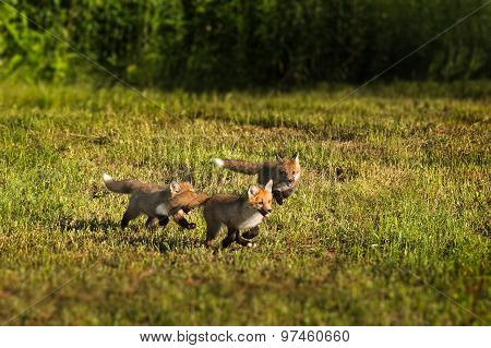 Three Red Fox Kits (vulpes Vulpes) Run Through The Grass