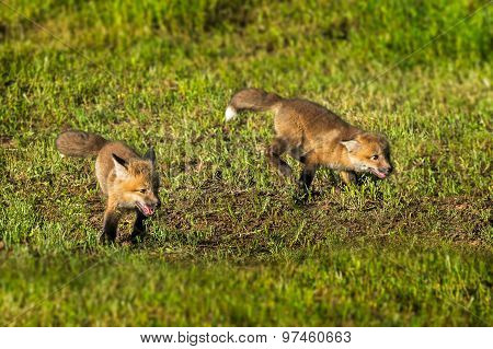 Two Red Fox Kits (vulpes Vulpes) Run Through The Grass