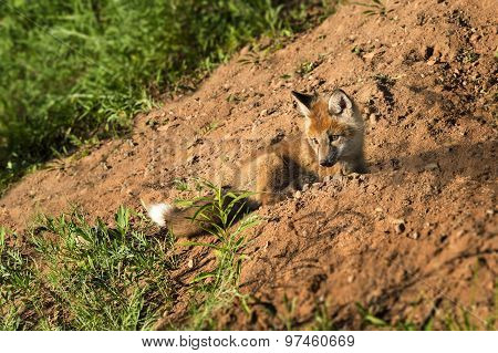 Red Fox Kit (vulpes Vulpes) Lies On Dirt Embankment
