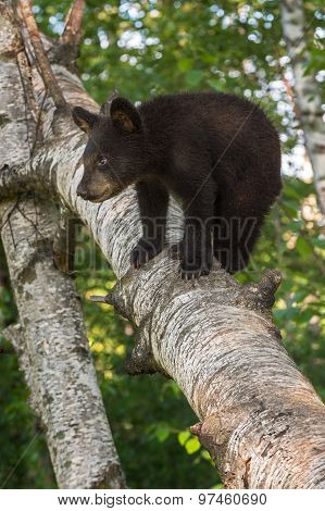 Young Black Bear (ursus Americanus) Looks Right From Tree Branch