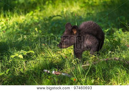 Young Black Bear (ursus Americanus) Walks Through Grass