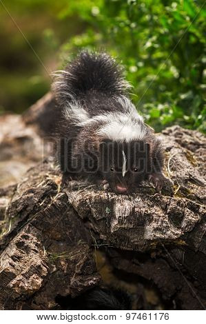 Baby Striped Skunk (mephitis Mephitis) On Top Of Log
