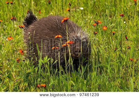 Porcupine (erethizon Dorsatum) Peers Between Flowers