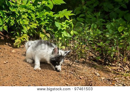 Young Marble Fox (vulpes Vulpes) Sniffs In Dirt