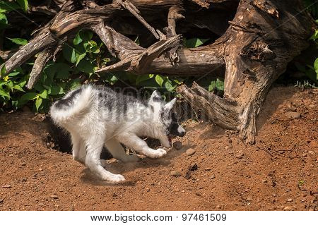 Young Marble Fox (vulpes Vulpes) Plays With Rock