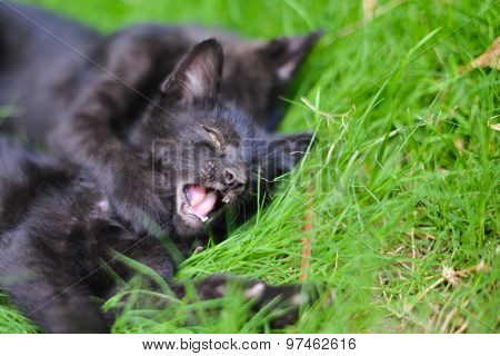 Black cute kittens  play on green grass