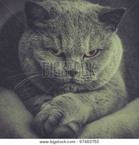 Portrait Of Old Adorable British Cat