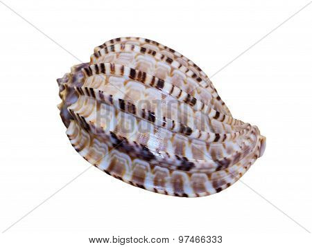 Shell Of Articulate Harp Or Harpa Articularis