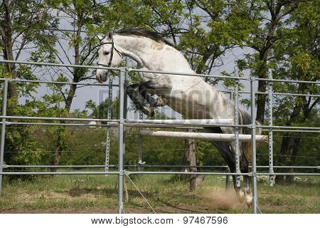 Beautiful Young Purebred Horse Jump Over Barrier