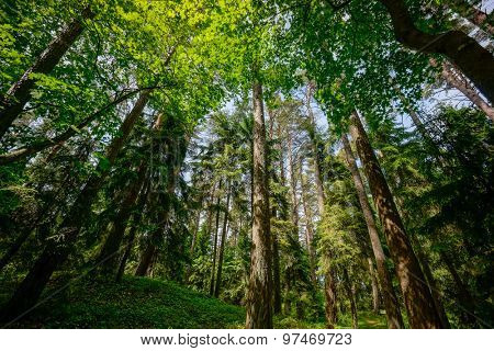 Pine forest landscape, Lithuania