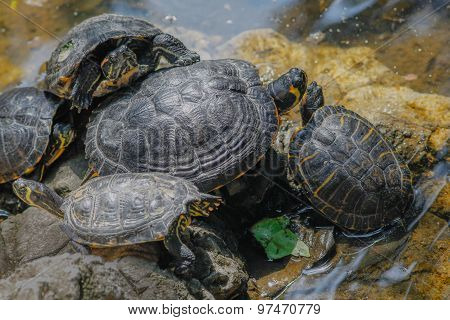 Group Of Wild Turtles Together On Sun
