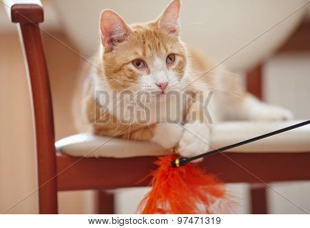 Portrait Of A Red Cat On A Chair With A Toy.
