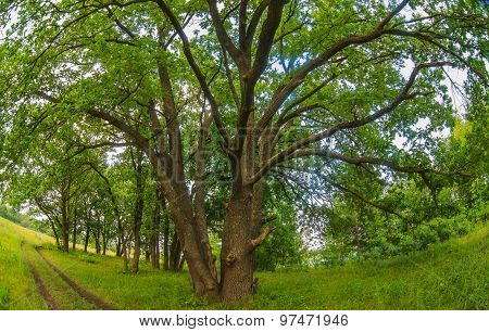 Russian landscape green oak forest old branches broad nature