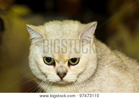 White British Shorthair Cat